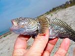 Рыба, пойманная в окресностях Орджоникидзе